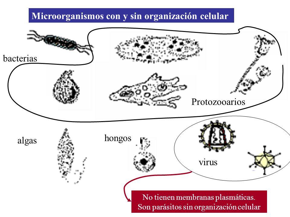 bacterias Protozooarios algas hongos virus Microorganismos con y sin organización celular No tienen membranas plasmáticas. Son parásitos sin organizac