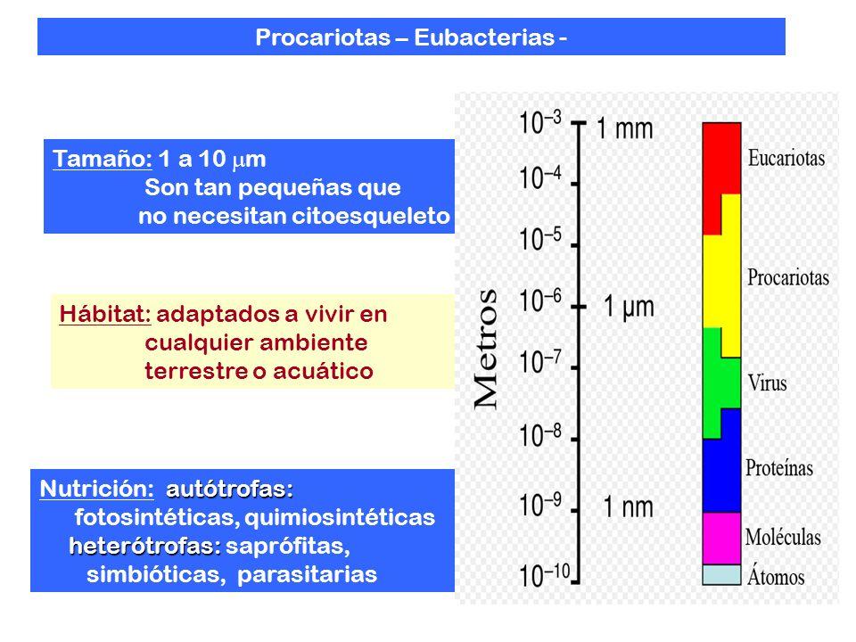 Tamaño: 1 a 10 m Son tan pequeñas que no necesitan citoesqueleto Hábitat: adaptados a vivir en cualquier ambiente terrestre o acuático autótrofas: Nutrición: autótrofas: fotosintéticas, quimiosintéticas heterótrofas: heterótrofas: saprófitas, simbióticas, parasitarias Procariotas – Eubacterias -