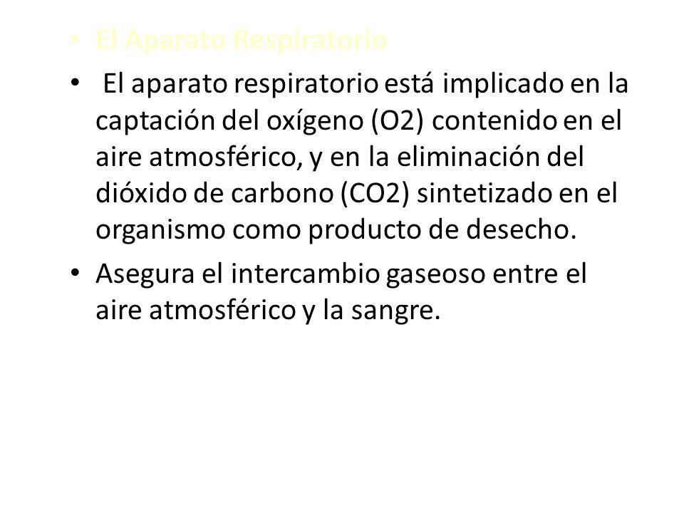 El Aparato Respiratorio El aparato respiratorio está implicado en la captación del oxígeno (O2) contenido en el aire atmosférico, y en la eliminación