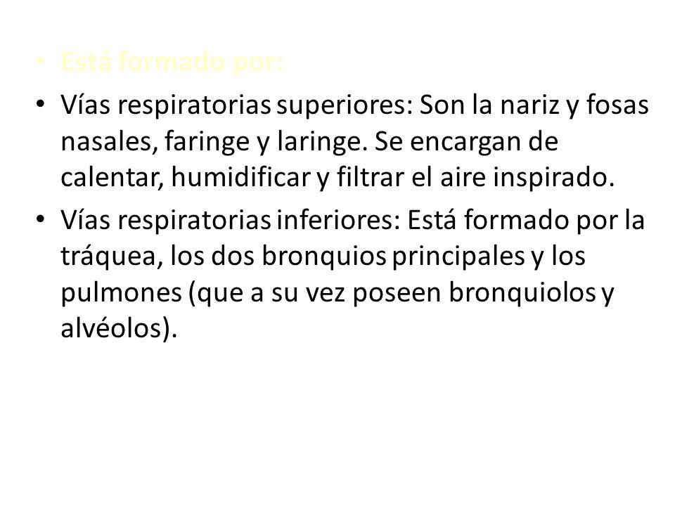 Está formado por: Vías respiratorias superiores: Son la nariz y fosas nasales, faringe y laringe. Se encargan de calentar, humidificar y filtrar el ai