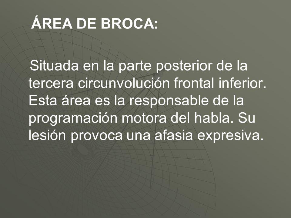 ÁREA DE BROCA: Situada en la parte posterior de la tercera circunvolución frontal inferior. Esta área es la responsable de la programación motora del