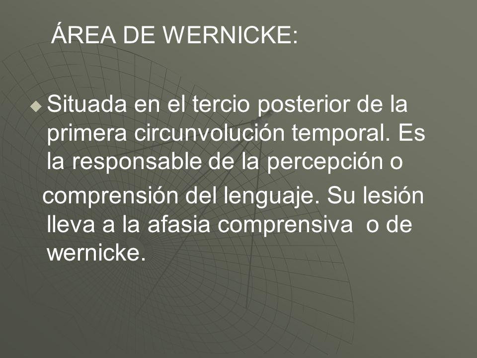 ÁREA DE WERNICKE: Situada en el tercio posterior de la primera circunvolución temporal. Es la responsable de la percepción o comprensión del lenguaje.