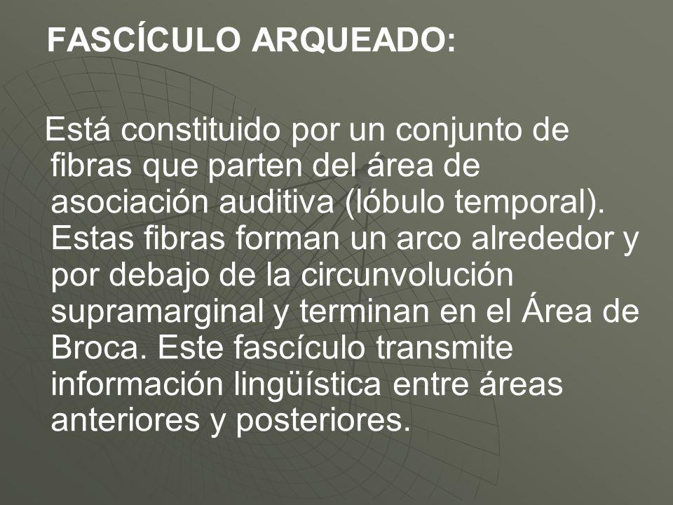 FASCÍCULO ARQUEADO: Está constituido por un conjunto de fibras que parten del área de asociación auditiva (lóbulo temporal). Estas fibras forman un ar