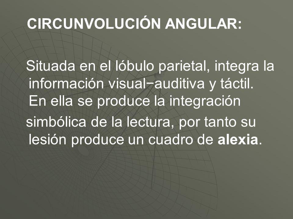 CIRCUNVOLUCIÓN ANGULAR: Situada en el lóbulo parietal, integra la información visualauditiva y táctil. En ella se produce la integración simbólica de