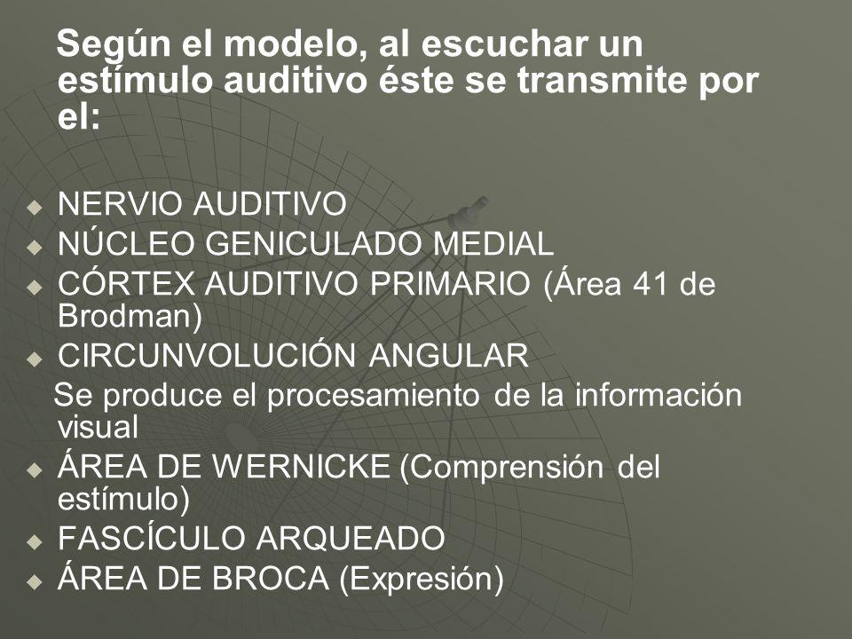 Según el modelo, al escuchar un estímulo auditivo éste se transmite por el: NERVIO AUDITIVO NÚCLEO GENICULADO MEDIAL CÓRTEX AUDITIVO PRIMARIO (Área 41