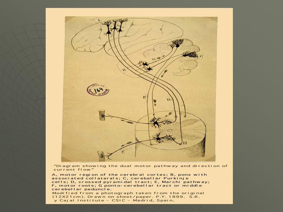 Las ESTRUCTURAS CORTICALES son: Área de Broca Área de Wernicke Fascículo arqueado.