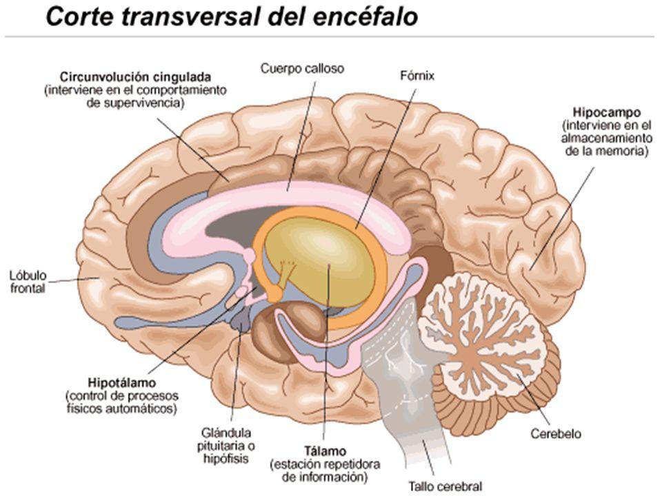 CIRCUNVOLUCIÓN ANGULAR: Situada en el lóbulo parietal, integra la información visualauditiva y táctil.