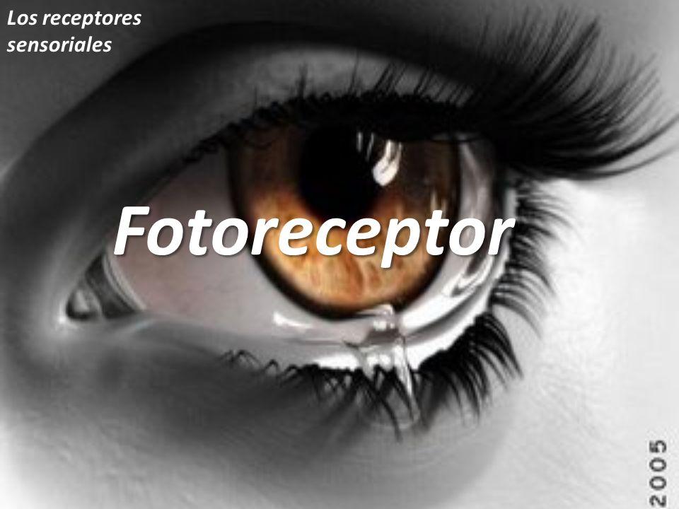 Los receptores sensorialesFotoreceptor