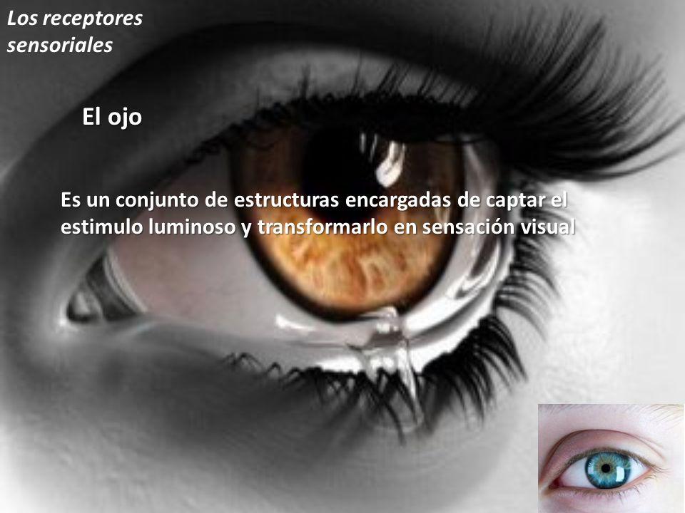 El ojo Es un conjunto de estructuras encargadas de captar el estimulo luminoso y transformarlo en sensación visual