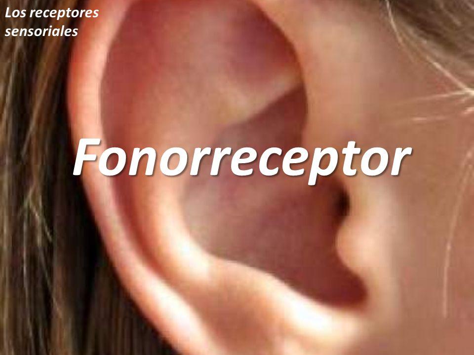Los receptores sensorialesFonorreceptor