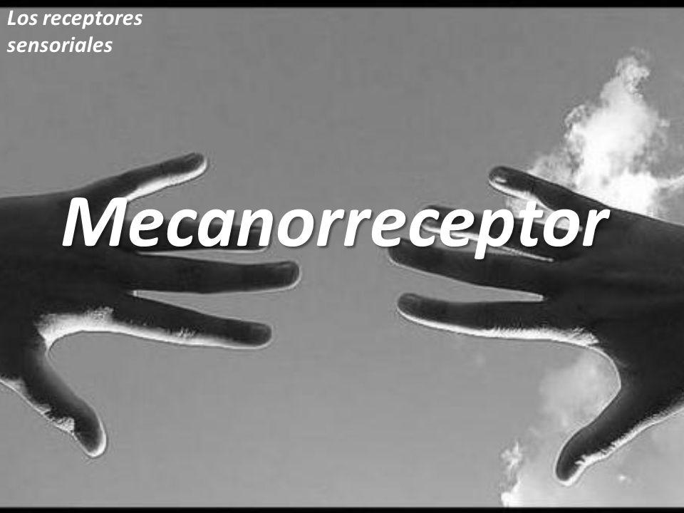 Mecanorreceptor Los receptores sensoriales