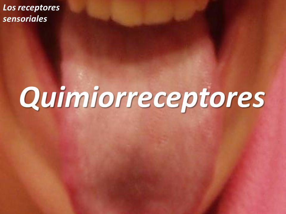Los receptores sensorialesQuimiorreceptores