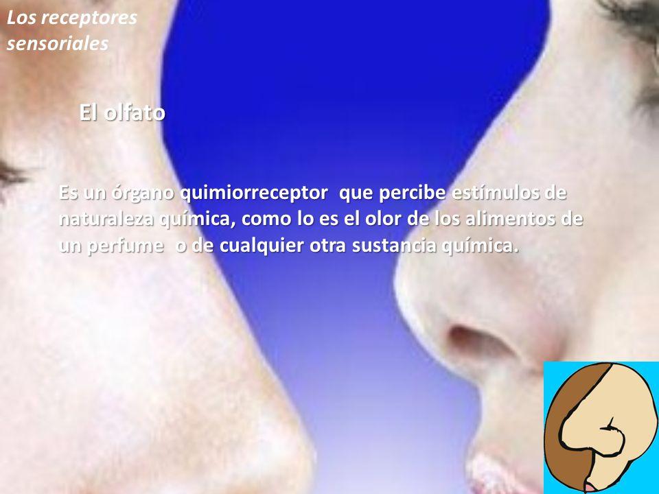 Los receptores sensoriales El olfato Es un órgano quimiorreceptor que percibe estímulos de naturaleza química, como lo es el olor de los alimentos de