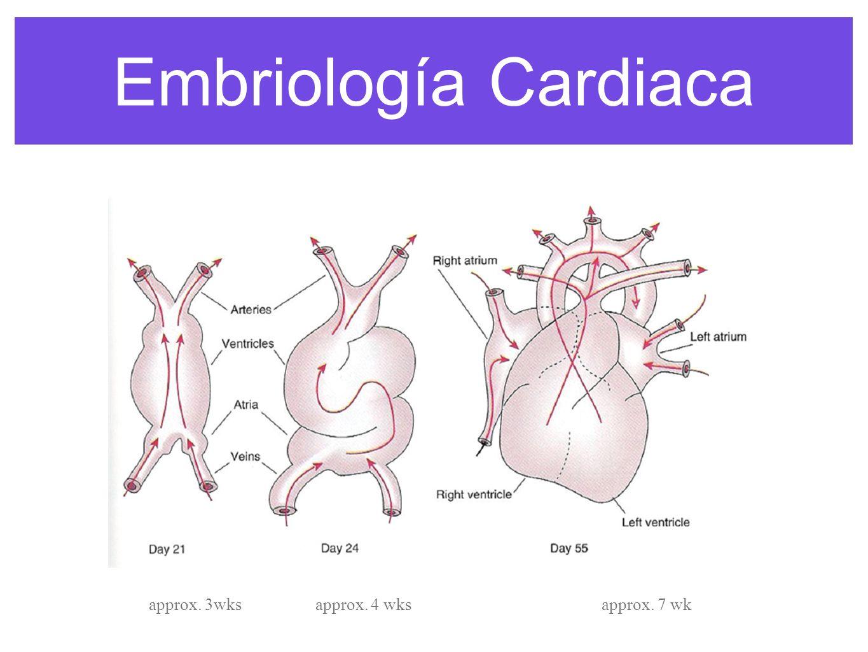 Embriologia cardiaca anesthesia congenital heart disease