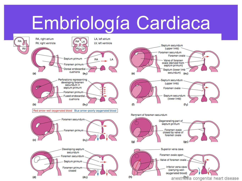 Embriología Cardiaca las válvulas AV (mitral y tricúspide) se forman de la pared interna del miocardio las raíces aórticas y pulmonares se forman de la separación que ocurre en el tronco arterioso las válvulas semilunares se forman de pequeños tubérculos en el tronco.