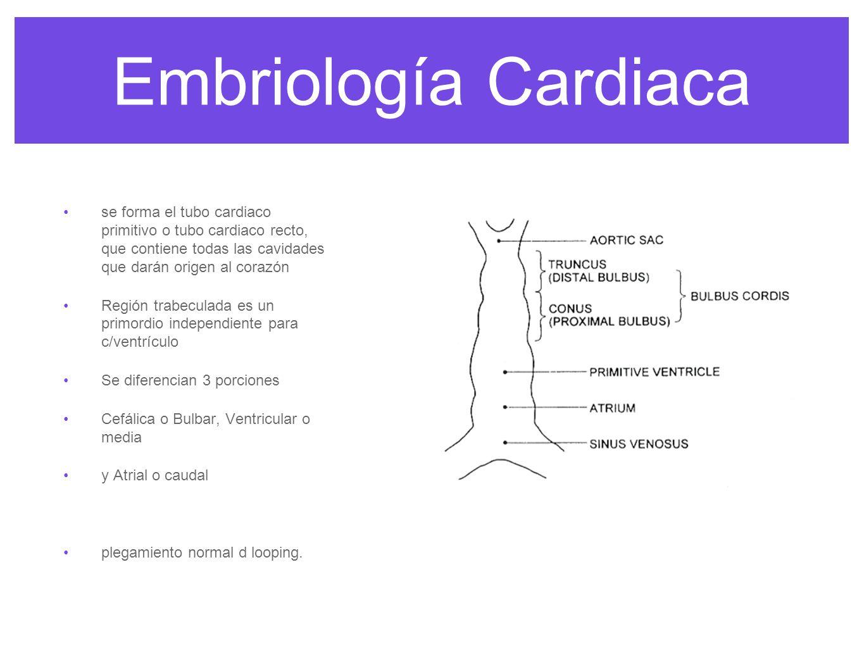Embriología Cardiaca Sinus venosus (1) Primitive atria (2) 1 & 2 contribute to SVC, IVC, CS, RA & LA Atrioventricular canal (3) large area of connection between primitive atria & ventricle endocardial cushion will form here MV and TV Primitive ventricle (4) - forms into LV Bulbus cordis: 3 parts Primitive RV (5) Conus cordis (6) - will form the ventricular outflow tracts (crista supraventricularis) Truncus arteriosus (7) - will form the aorta & pulmonary artery trunk