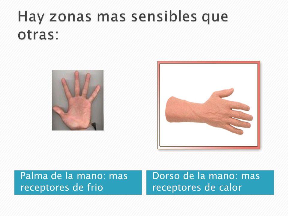 Palma de la mano: mas receptores de frio Dorso de la mano: mas receptores de calor
