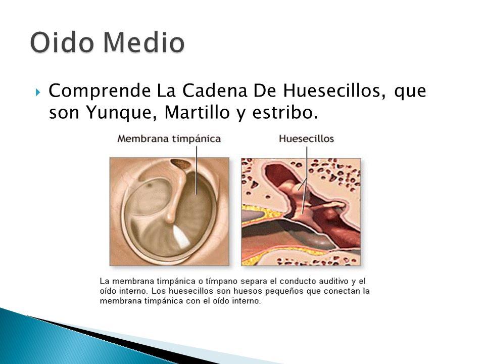 Comprende La Cadena De Huesecillos, que son Yunque, Martillo y estribo.