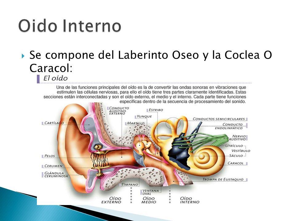 Se compone del Laberinto Oseo y la Coclea O Caracol: