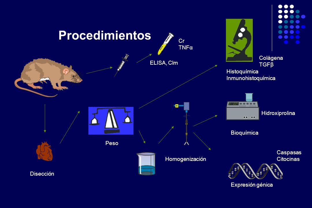 Suero: Creatinina, colorimétrica (Syncron CX5, Beckman) TNFα, ELISA (RDI) Tejido: Hidroxiprolina, colorimétrico (React Erhlich) Histoquímica, rojo sirio (Analizador de imágenes, Olympus) Inmunohistoquímica (Anti TGFβ, Santa Cruz, analizador de imágenes, Olympus) Expresión génica (Protección RNAasa, Beckton-Dickinson) Métodos