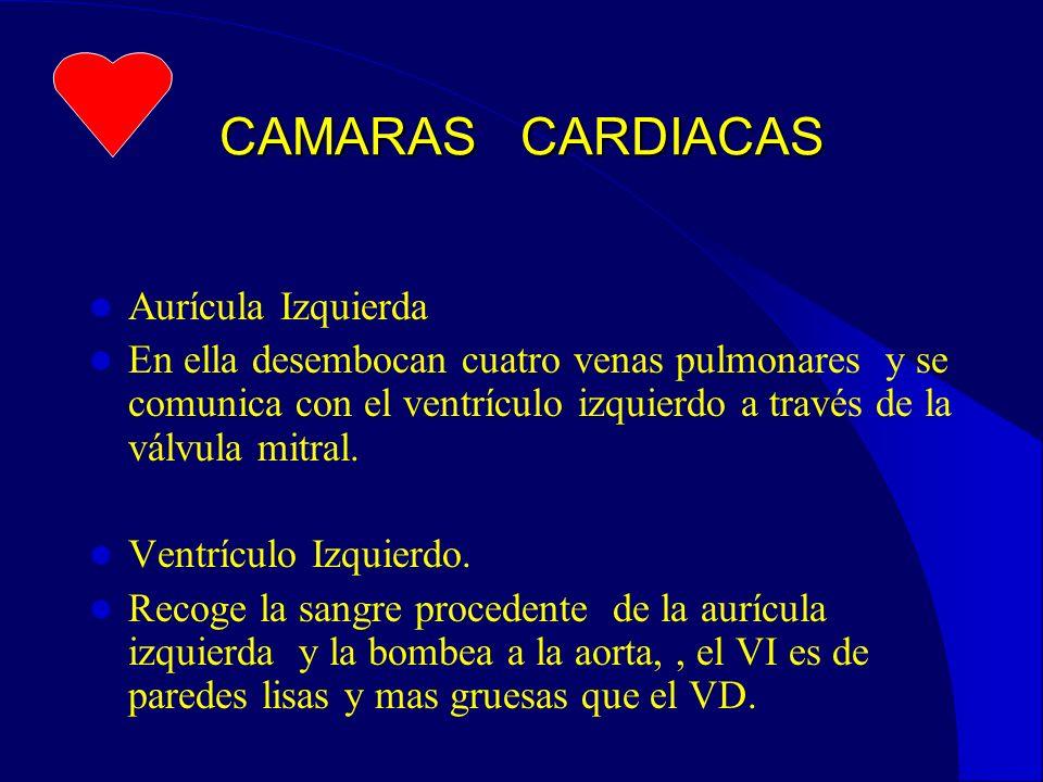 CAMARAS CARDIACAS Aurícula Izquierda En ella desembocan cuatro venas pulmonares y se comunica con el ventrículo izquierdo a través de la válvula mitral.
