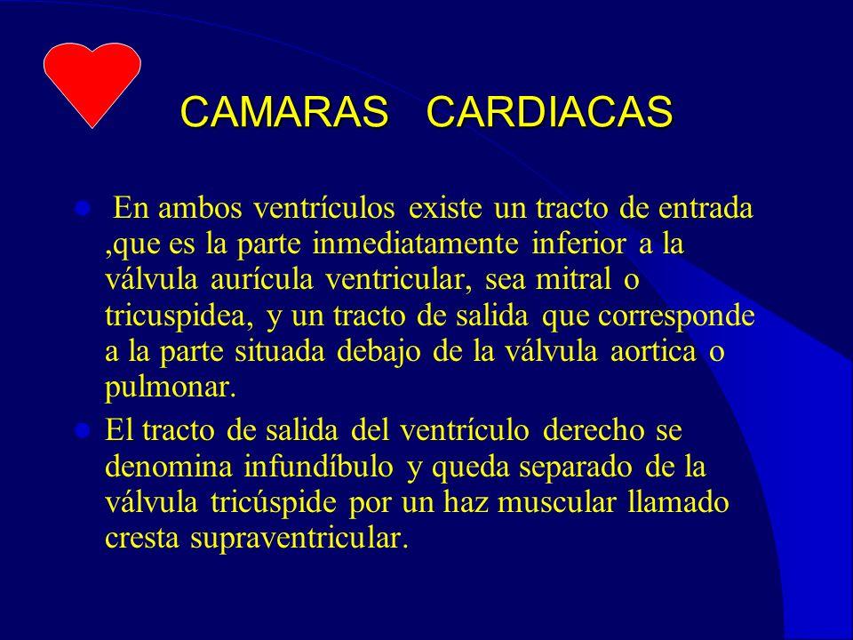 CAMARAS CARDIACAS En ambos ventrículos existe un tracto de entrada,que es la parte inmediatamente inferior a la válvula aurícula ventricular, sea mitral o tricuspidea, y un tracto de salida que corresponde a la parte situada debajo de la válvula aortica o pulmonar.