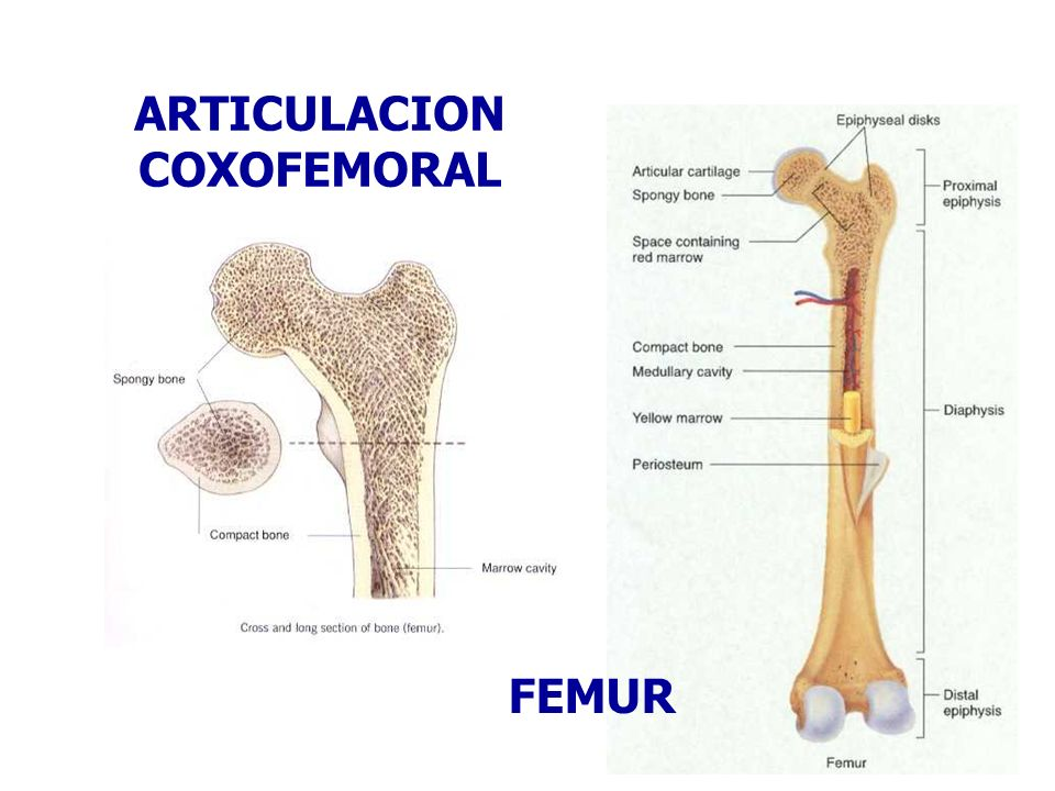 ARTICULACION COXOFEMORAL FEMUR