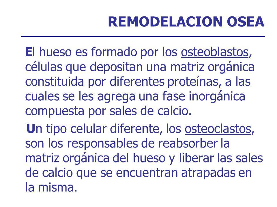 REMODELACION OSEA El hueso es formado por los osteoblastos, células que depositan una matriz orgánica constituida por diferentes proteínas, a las cual