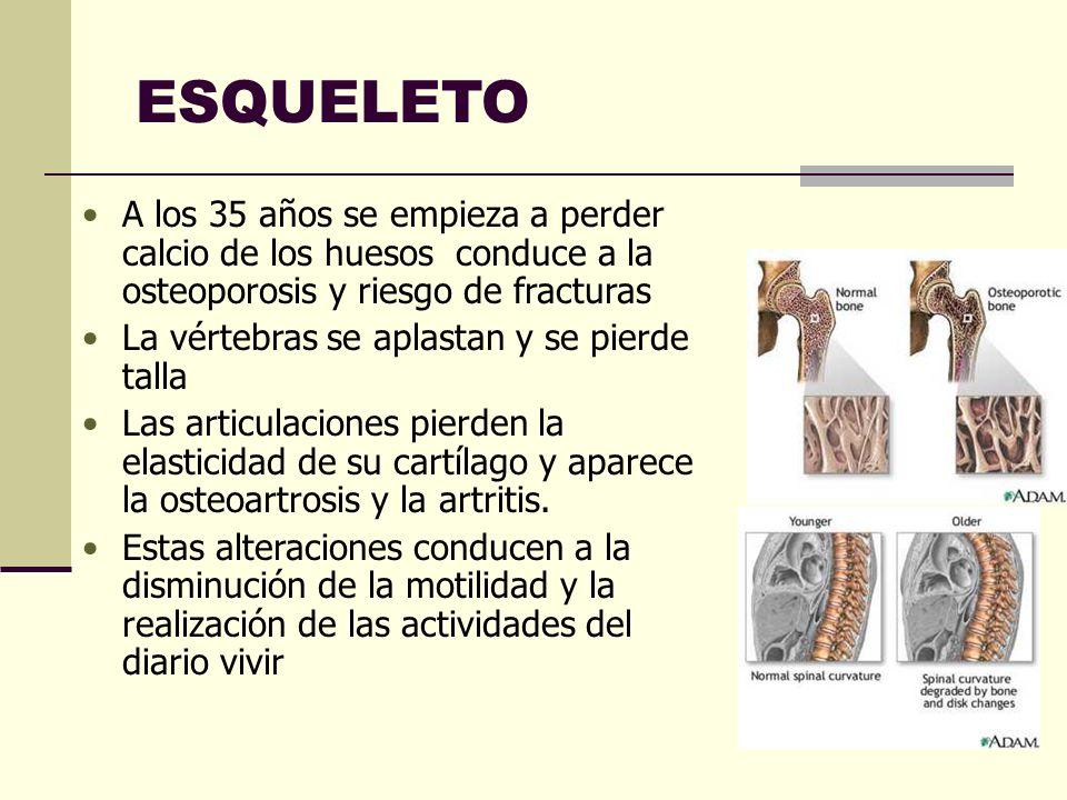 ESQUELETO A los 35 años se empieza a perder calcio de los huesos conduce a la osteoporosis y riesgo de fracturas La vértebras se aplastan y se pierde