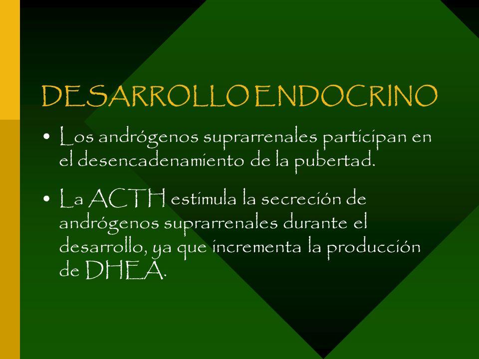 DESARROLLO ENDOCRINO Los andrógenos suprarrenales participan en el desencadenamiento de la pubertad. La ACTH estimula la secreción de andrógenos supra