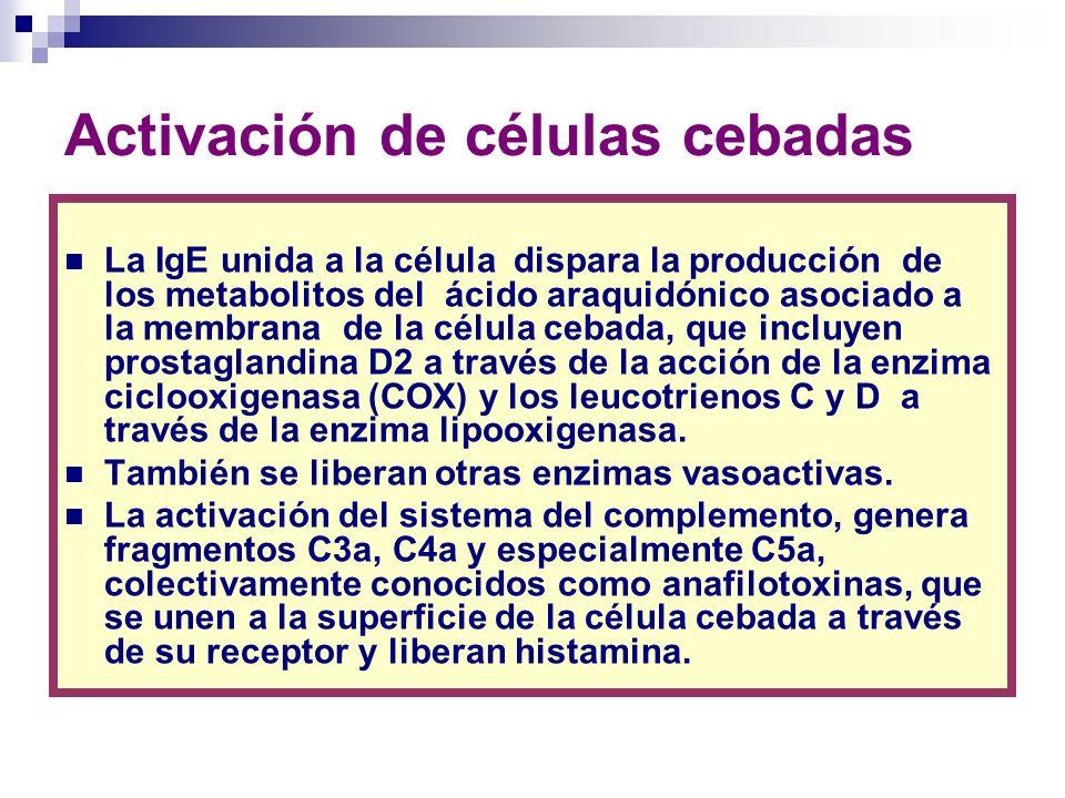 Activación de células cebadas La IgE unida a la célula dispara la producción de los metabolitos del ácido araquidónico asociado a la membrana de la cé