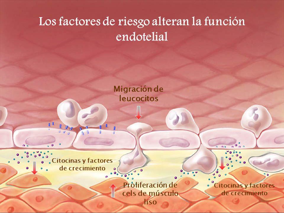 Citocinas y factores de crecimiento Proliferación de cels de músculo liso Los factores de riesgo alteran la función endotelial Migración de leucocitos