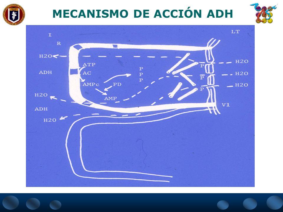 MECANISMO DE ACCIÓN ADH