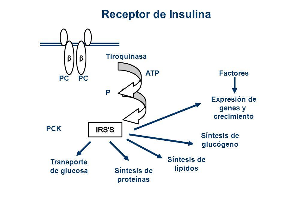PC Tiroquinasa ATP P PCK Transporte de glucosa Síntesis de proteínas Síntesis de lípidos Síntesis de glucógeno Factores Expresión de genes y crecimien