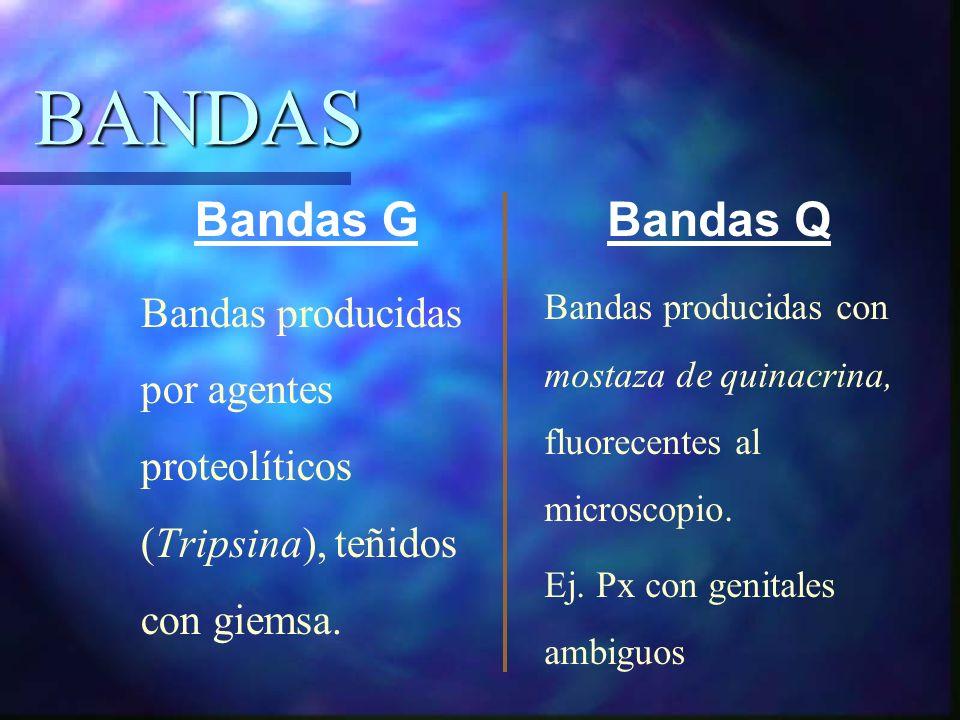 BANDAS Bandas producidas por agentes proteolíticos (Tripsina), teñidos con giemsa. Bandas producidas con mostaza de quinacrina, fluorecentes al micros