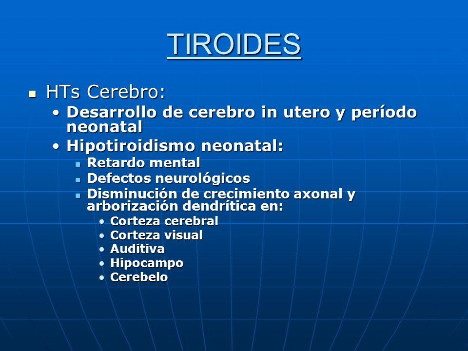 TIROIDES HTs Cerebro: HTs Cerebro: Desarrollo de cerebro in utero y período neonatalDesarrollo de cerebro in utero y período neonatal Hipotiroidismo n