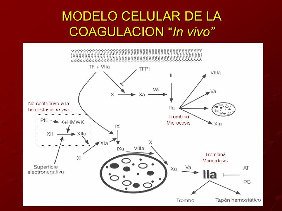 MODELO CELULAR DE LA COAGULACION In vivo Trombina Macrodosis Trombina Microdosis No contribuye a la hemostasia in vivo: