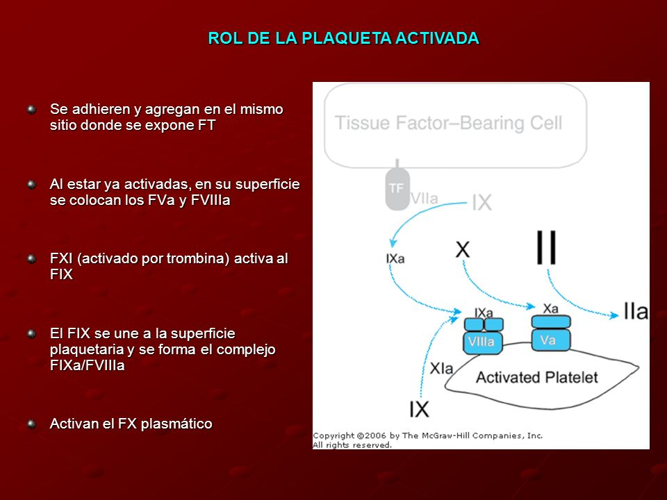 Se adhieren y agregan en el mismo sitio donde se expone FT Al estar ya activadas, en su superficie se colocan los FVa y FVIIIa FXI (activado por tromb