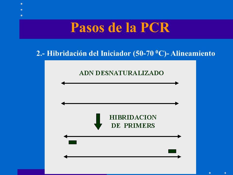 Pasos de la PCR 2.- Hibridación del Iniciador (50-70 0 C)- Alineamiento