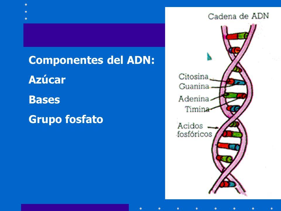 Componentes del ADN: Azúcar Bases Grupo fosfato