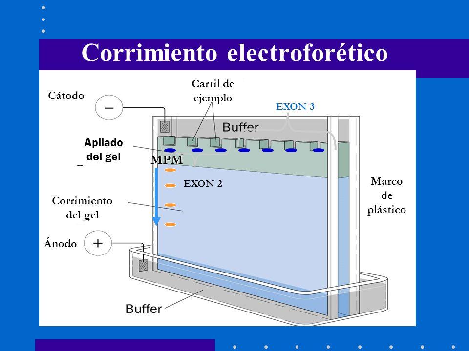 Corrimiento electroforético MPM EXON 2 EXON 3 Cátodo Ánodo Corrimiento del gel Carril de ejemplo Marco de plástico Apilado del gel