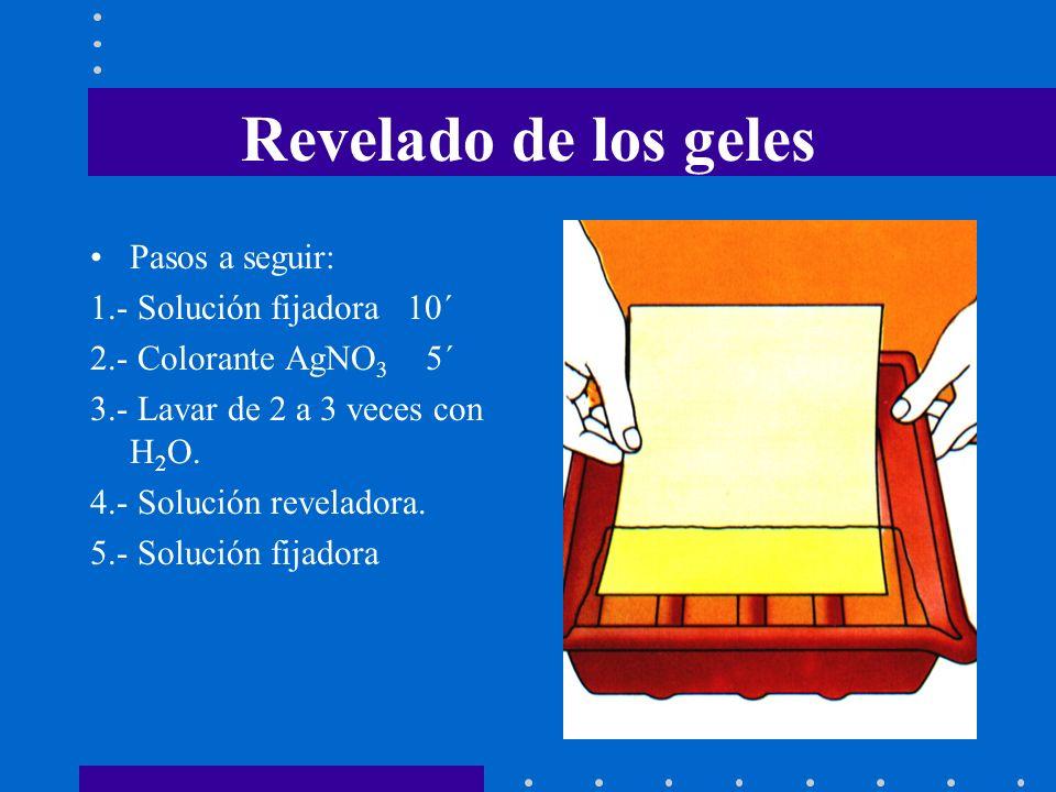 Revelado de los geles Pasos a seguir: 1.- Solución fijadora 10´ 2.- Colorante AgNO 3 5´ 3.- Lavar de 2 a 3 veces con H 2 O. 4.- Solución reveladora. 5