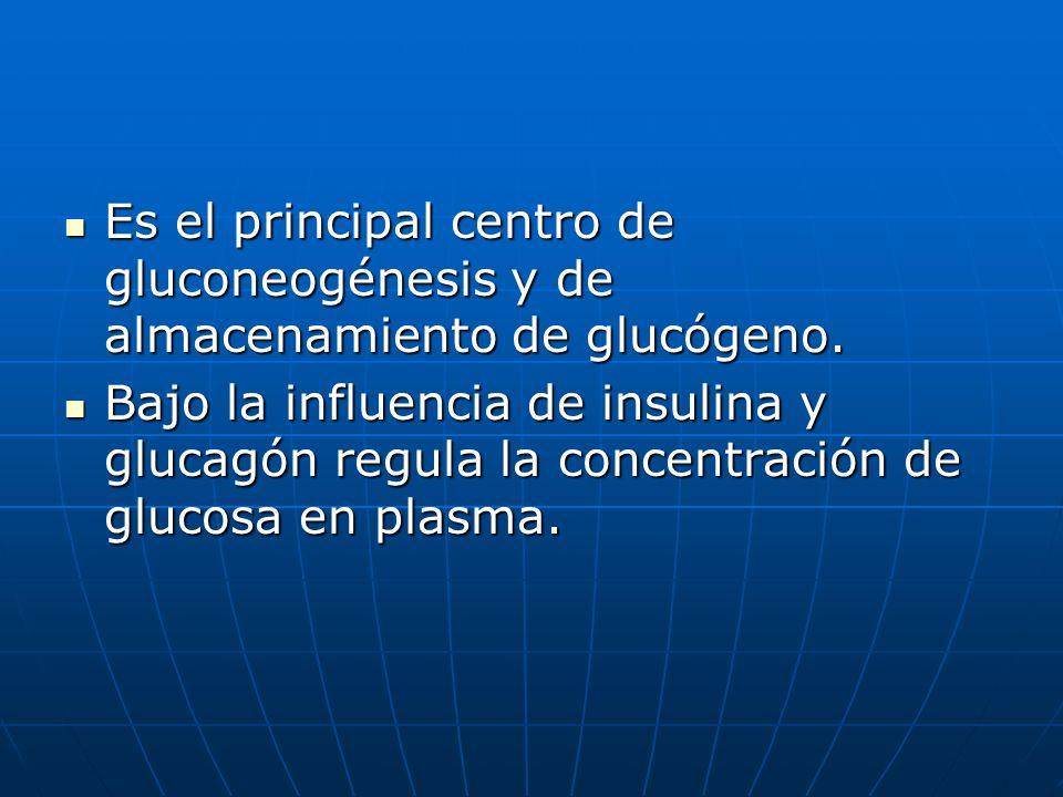Es el principal centro de gluconeogénesis y de almacenamiento de glucógeno. Es el principal centro de gluconeogénesis y de almacenamiento de glucógeno
