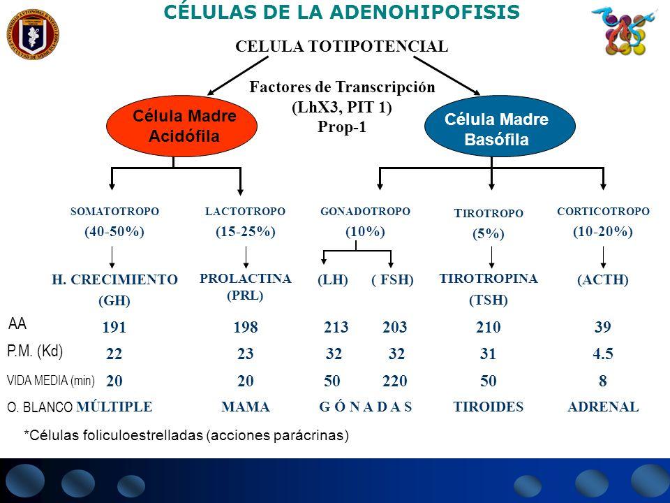 AA CÉLULAS DE LA ADENOHIPOFISIS CELULA TOTIPOTENCIAL Factores de Transcripción (LhX3, PIT 1) Prop-1 Célula Madre Acidófila Célula Madre Basófila SOMAT