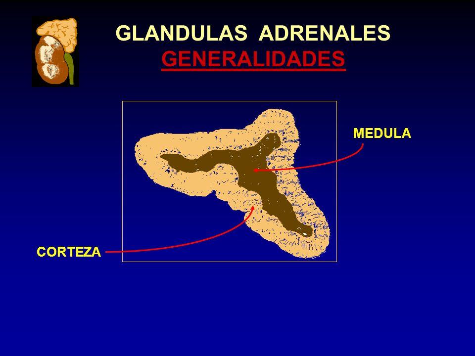 GLANDULAS ADRENALES GENERALIDADES CORTEZA MEDULA
