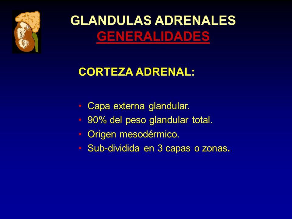 GLANDULAS ADRENALES GENERALIDADES CORTEZA ADRENAL: Capa externa glandular.
