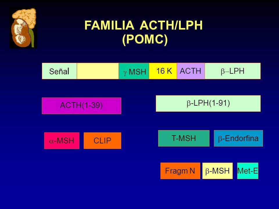 EJE HIPOTALAMO - HIPOFISIS - ADRENAL SISTEMA LIMBICO (amÍgdala, hipocampo) HIPOTALAMO Núcleo paraventricular HIPOFISIS ANTERIOR Corticotropo CORTEZA ADRENAL MÉDULA ADRENAL ( - ) ( + ) ( - ) ++ ++++ + + + - Cortisol CRHAVPCCKVIPANGII ACTHB-ENDB-LIP ( - ) ACETILCOLINA, EPINEFRINA, 5HT NOREPINEFRINA, OPIOIDES, GABA ( - )