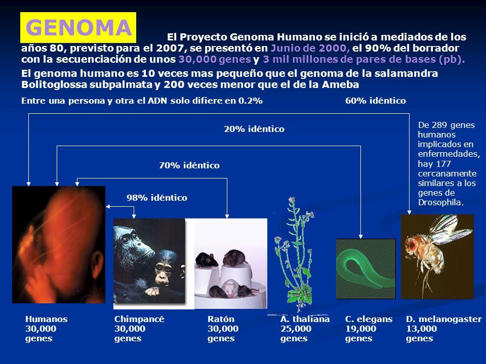 Humanos 30,000 genes GENOMA Chimpancé 30,000 genes A. thaliana 25,000 genes Ratón 30,000 genes C. elegans 19,000 genes D. melanogaster 13,000 genes 98