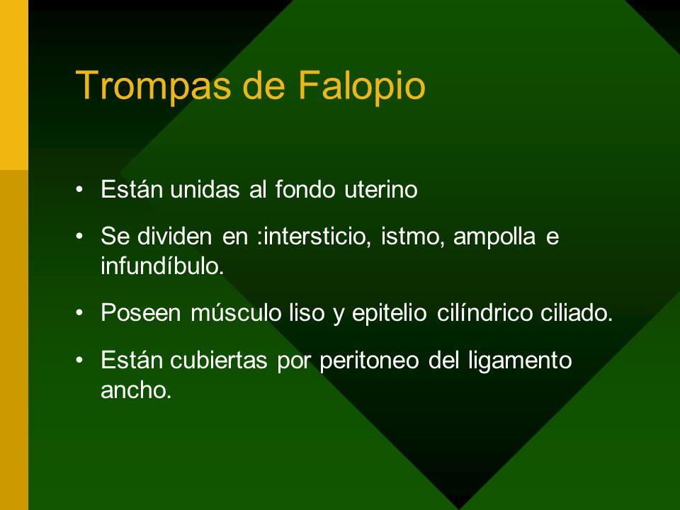 Trompas de Falopio Están unidas al fondo uterino Se dividen en :intersticio, istmo, ampolla e infundíbulo. Poseen músculo liso y epitelio cilíndrico c