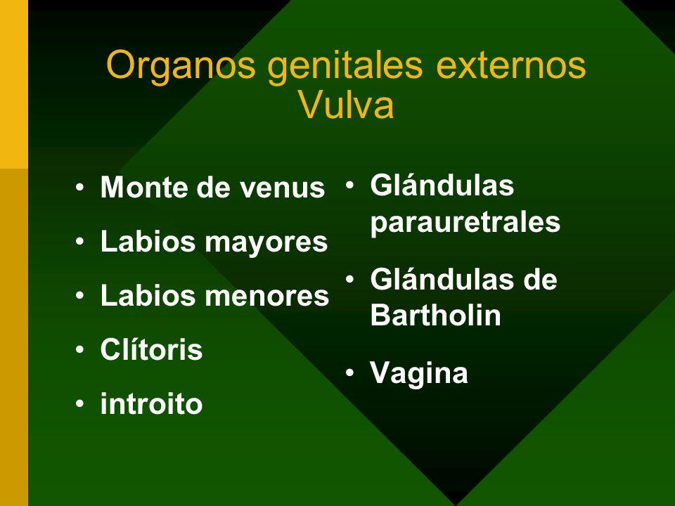 Organos genitales externos Vulva Monte de venus Labios mayores Labios menores Clítoris introito Glándulas parauretrales Glándulas de Bartholin Vagina